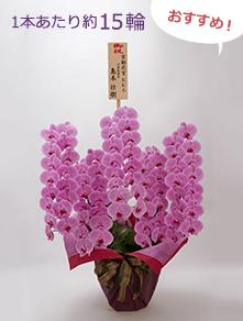 はんなり胡蝶蘭 ピンク大輪5本立 竹