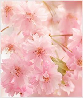 平安紅しだれ桜