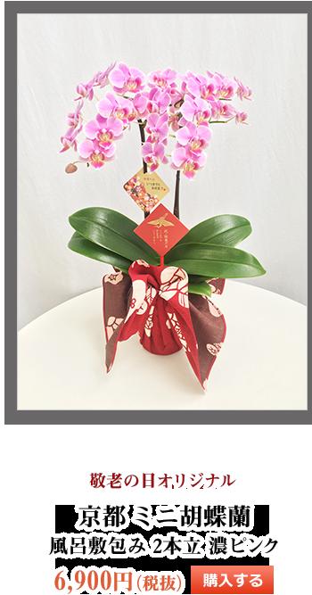 敬老の日オリジナル 京都ミニ胡蝶蘭 風呂敷包み2本立 濃ピンク