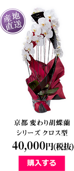 京都 変わり胡蝶蘭シリーズ クロス型
