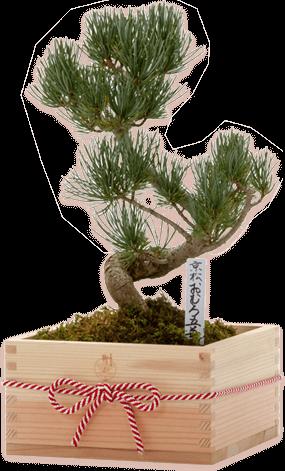 OMURO Bonsai(Pine) Special wooden box