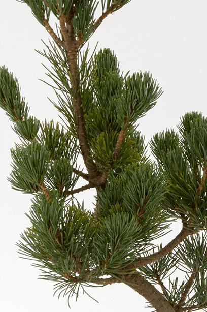Kyoto Mini-BONSAI Series Kyoto Japanese Pine