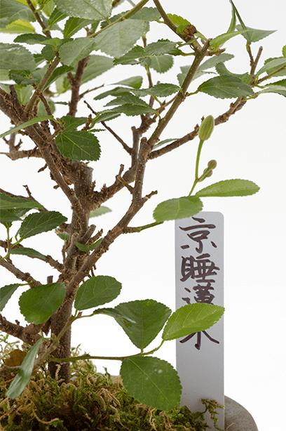 Kyoto Mini-BONSAI Kyoto Water Lily