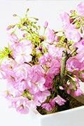 京都小鉢シリーズ【おむろ盆桜】