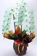 色つき胡蝶蘭 グリーン