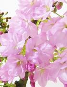 おむろ盆桜(おむろぼんさくら)