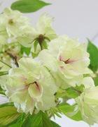 鬱金桜(うこんさくら)