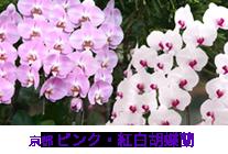 京都 ピンク・紅白胡蝶蘭特集