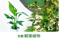 京都 観葉植物シリーズ