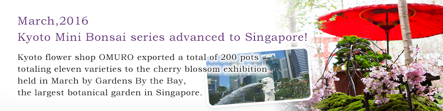 March,2016 Kyoto Mini Bonsai series advanced to Singapore! Kyoto flower shop OMURO exported a total of 200 pots totaling eleven varieties to the cherry blossom exhibition held in March by Gardens By the Bay,the largest botanical garden in Singapore.