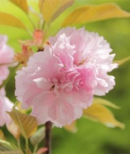 Yokihi Sakura