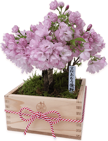 Kyoto Kitayama-Sugi Special Wooden Box (3 trees)