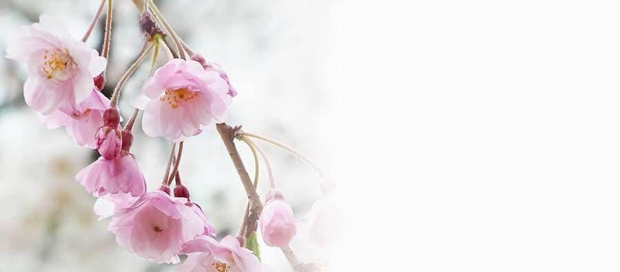 Shidare Sakura