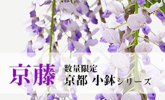 京都小鉢シリーズ 京藤