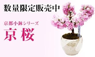 京都小鉢シリーズ 京桜 趣はそのままに、小鉢で味わう世界遺産「京都仁和寺」の御室桜