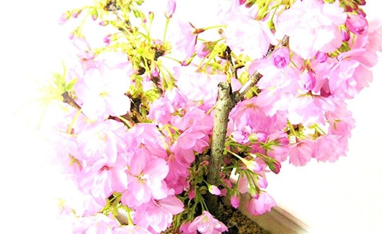 【春のミニ盆栽】京都小鉢(ミニ盆栽)京桜