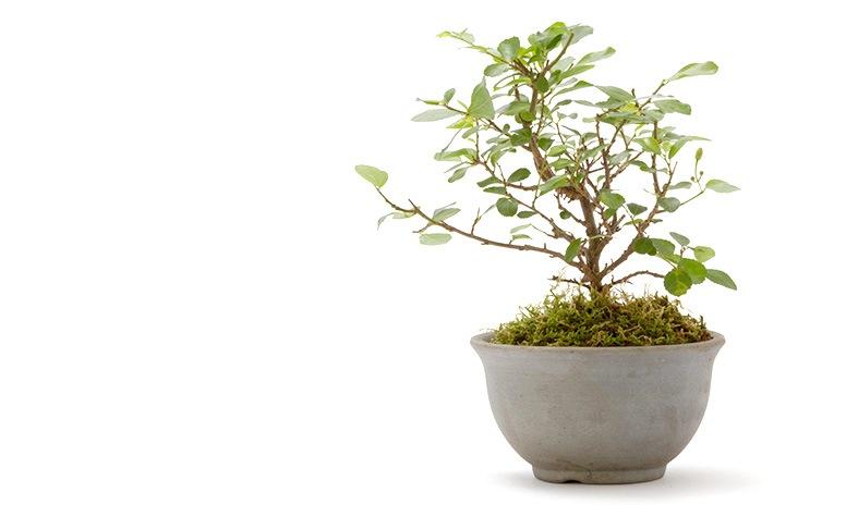 【夏のミニ盆栽】都小鉢(ミニ盆栽)京睡蓮木