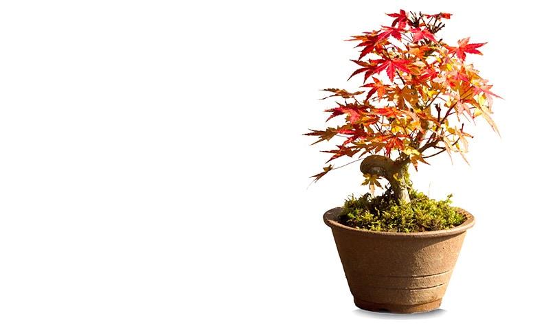 【秋のミニ盆栽】京都小鉢(ミニ盆栽)京紅葉