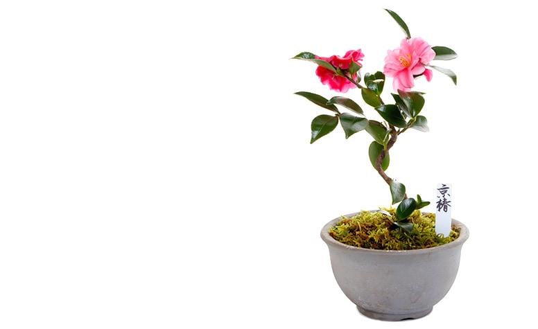 【冬のミニ盆栽】京京都小鉢(ミニ盆栽)京椿