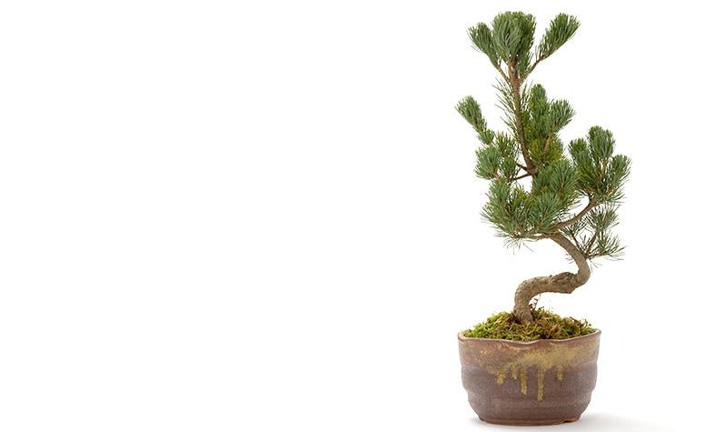【通年のミニ盆栽】京都小鉢(ミニ盆栽)京松