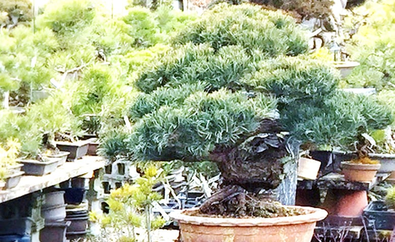 【通年のミニ盆栽】京都年代物盆栽