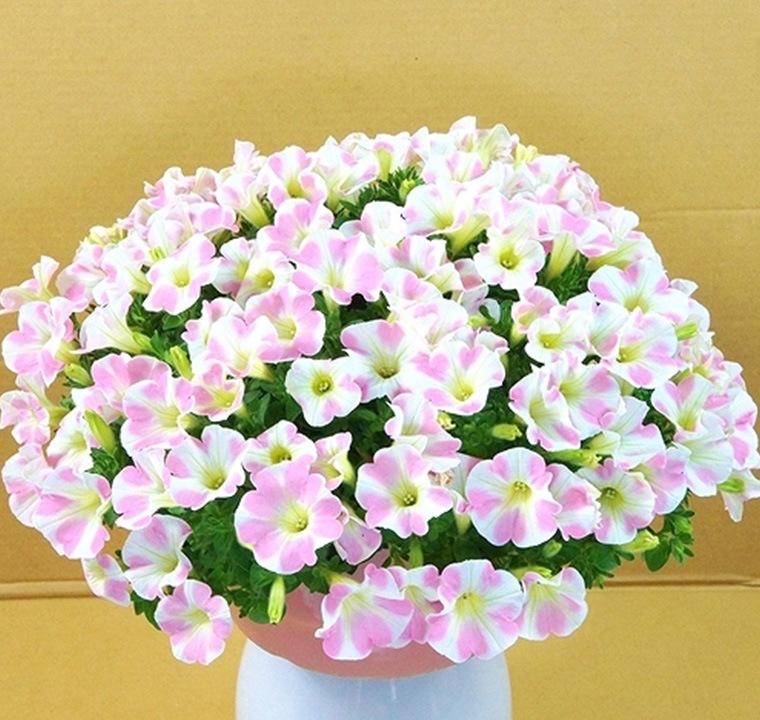 花びらにピンクのハート模様がある、かわいらしく新鮮な母の日ギフトサフィニア
