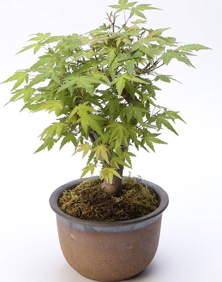 京都小鉢(ミニ盆栽)京紅葉シリーズ 樹齢7年以上
