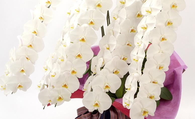 京都花室おむろが誇る、最上級胡蝶蘭
