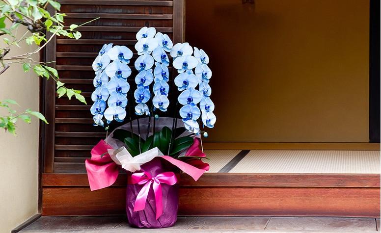 【美しいカラーの胡蝶蘭】京都 色付き胡蝶蘭シリーズ