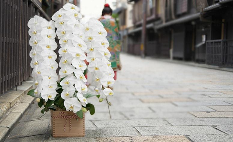 【最高級の胡蝶蘭】京都 はんなり胡蝶蘭シリーズ