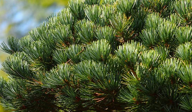 一年を通じて常緑の松は、お手入れ簡単で年中楽しめる。