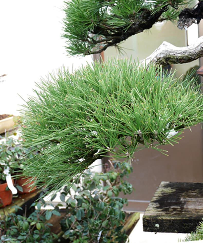 京都 年代物盆栽シリーズとは