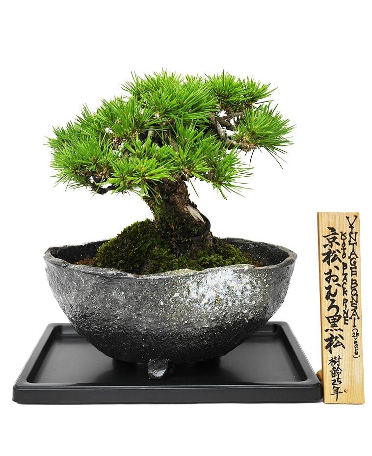 京都 おむろ黒松 25年物