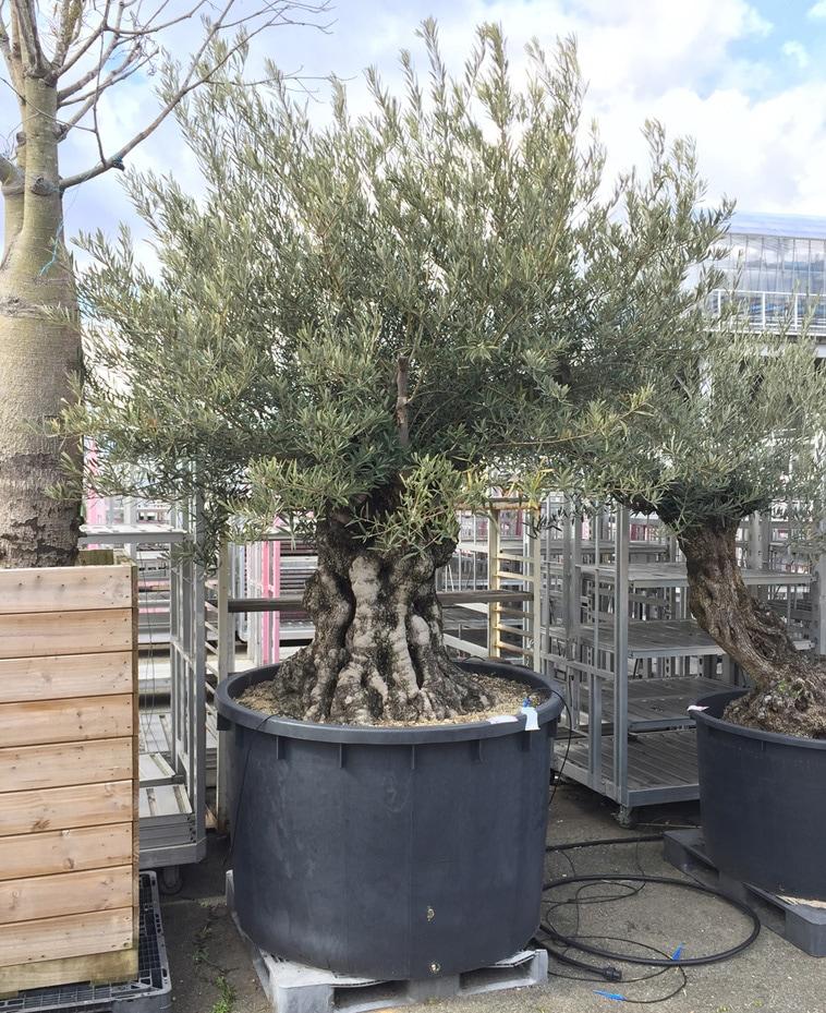 30年以上盆栽・その他松類の年代物などの特別ご用立てについて