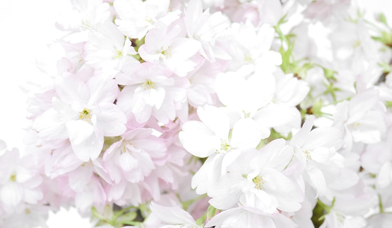 京都小鉢(ミニ盆栽)シリーズ おむろ盆桜