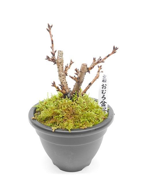 おむろ盆桜1本立(プラ鉢)