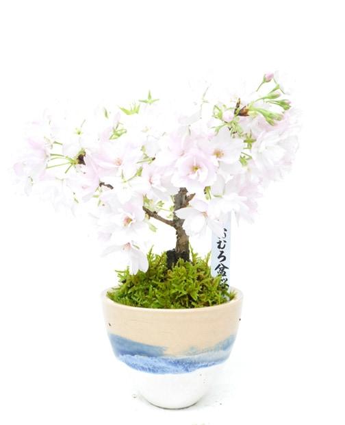 おむろ盆桜1本立(信楽焼)