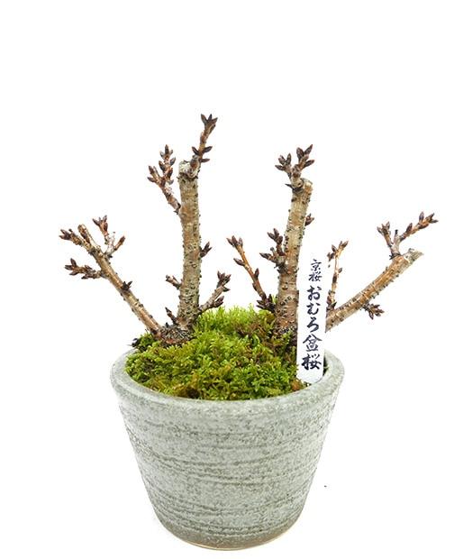 おむろ盆桜 2本立(信楽焼)