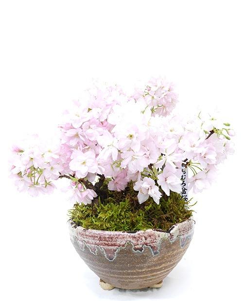 おむろ盆桜 3本立(信楽焼)