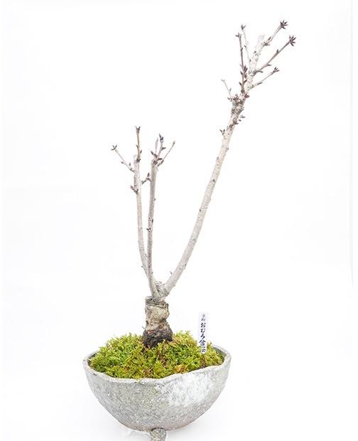 おむろ盆桜 特別仕立 (株立)