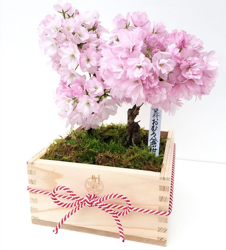 おむろ 盆桜2本立特選升(京都北山杉使用)