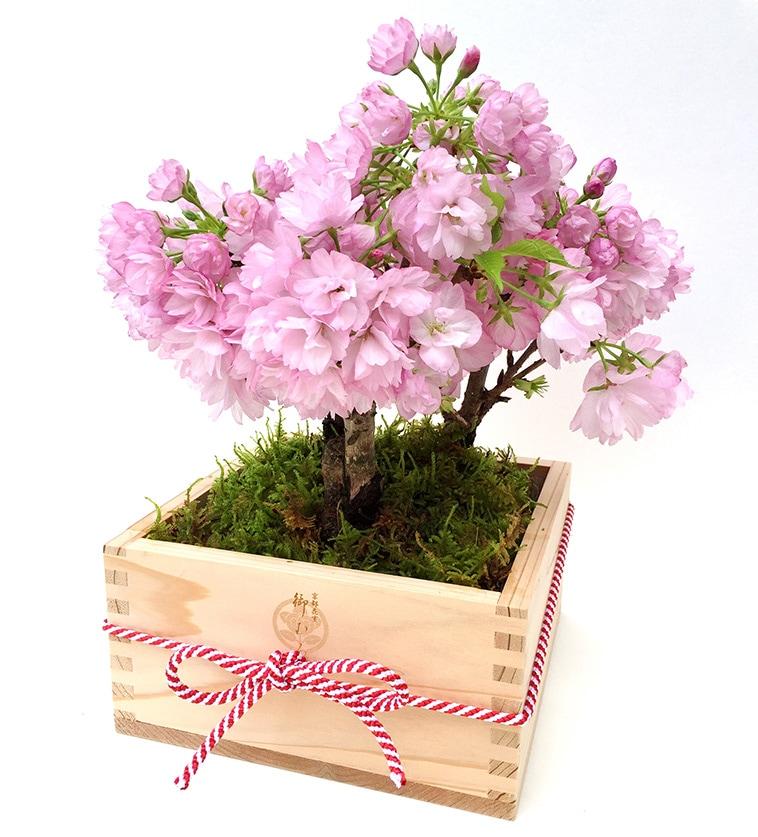 おむろ 盆桜3本立特選升(京都北山杉使用)