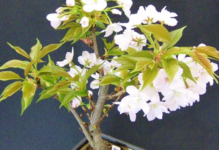 有明桜(盆栽)