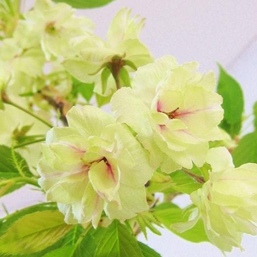 鬱金(うごん)桜