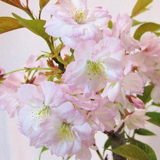 普賢象(ふげんぞう)桜