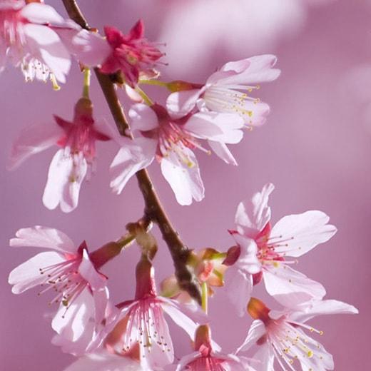 白妙(しろたえ)桜