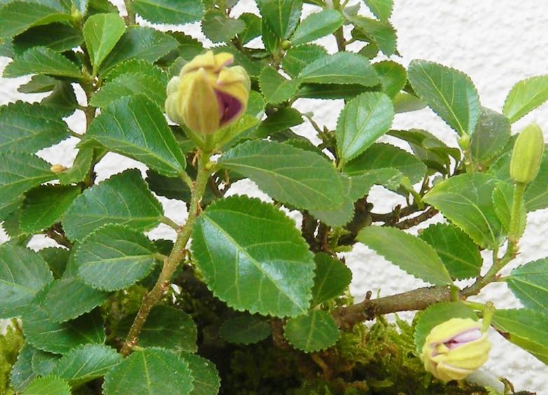睡蓮の花に似ているところから名づけられた睡蓮木