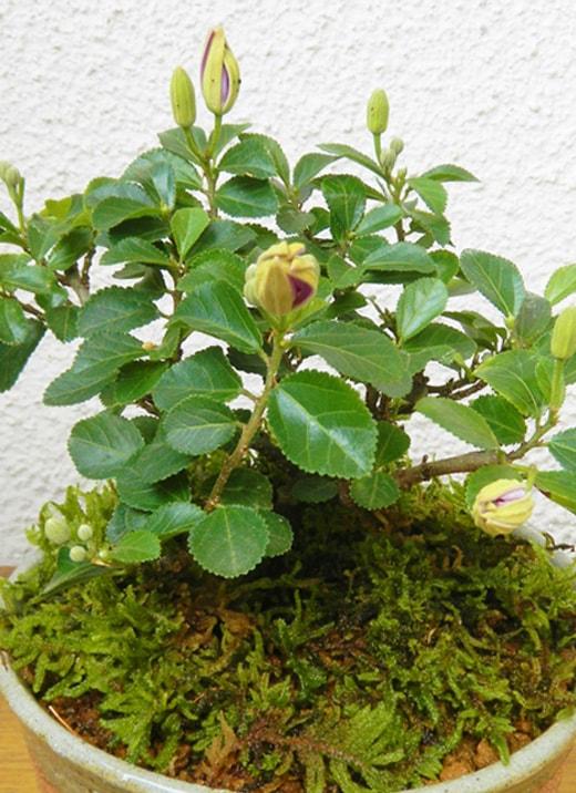 開花時期が長く育てやすい睡蓮木