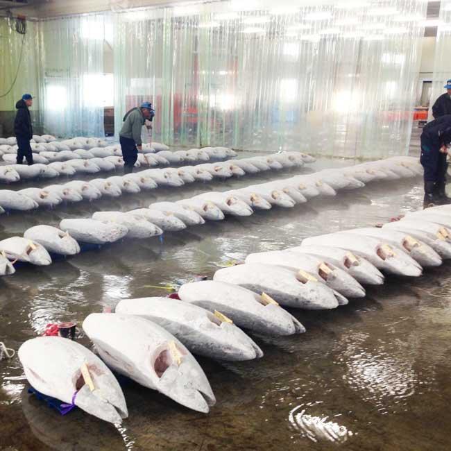 焼津魚市場に上場したミナミマグロ