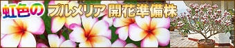 開花準備株!プルメリア
